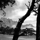 Pine Trees in the Corsican Mountains (France). by M. van Oostrum