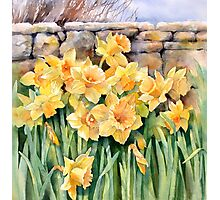 Cotswold Daffodils Photographic Print