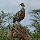 Yellow Necked Spurfowl, Kenya, Africa by Anita  Fletcher