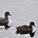 Gadwall Pair (Anas strepera) by Chris Monks