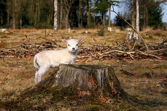 Mary's Little Lamb by Jo Nijenhuis