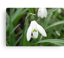 The March Snowdrop Canvas Print