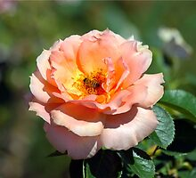 Apricot Hybrid Tea Rose With Honeybee by Catherine Sherman
