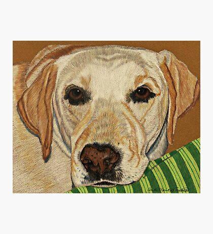 Labrador Retriever - Yellow Photographic Print