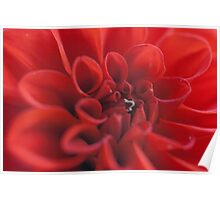 Red Dahlia with Inch worm Poster