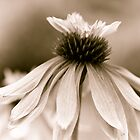 Dancing Daisy 1 by KSKphotography