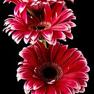 Triple Red Gerbera by Fe Messenger