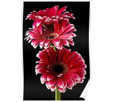 Triple Red Gerbera Poster