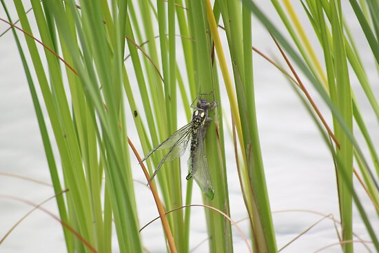 Dragonfly by Sojourner92