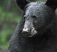 Re-do of Black Bear Portrait by smalletphotos