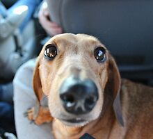 Dachshund close up  by co0kiem0nster