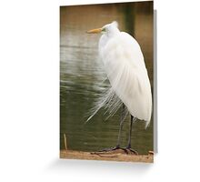 Great  White Egret (Breeding) Greeting Card