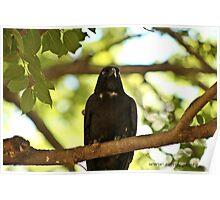 Raven at Rest Poster