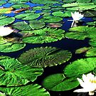 Among the Lily Pads by AngieDavies