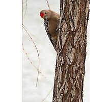 Gila Woodpecker (Male) ~ Curious Photographic Print