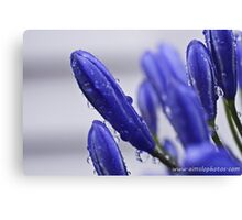 Agapanthus Buds Canvas Print