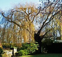 Oxford Willow by merialayne
