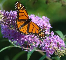 Monarch & Lilac by zoocrew
