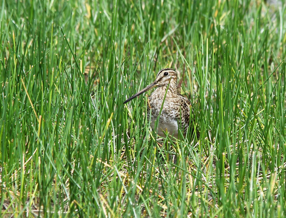 The Elusive Snipe by byronbackyard
