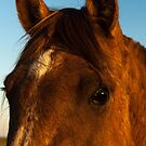 Portrait of Horse Head in Morning Light by photograham