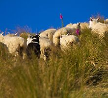 Dog, Sheep, Tussock by trevallyphotos