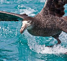 Northern Giant Petrel by Kimball Chen