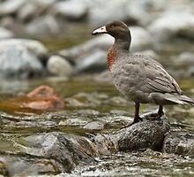 Blue Duck - Fiordland - New Zealand by Kimball Chen