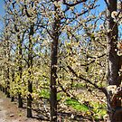 Fruit Trees in Perth Hills # 2 by Eve Parry