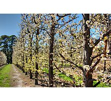 Fruit Trees in Perth Hills # 2 Photographic Print