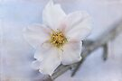 first blossom by Teresa Pople
