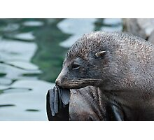 Fur Seal Photographic Print