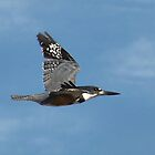 Belted Kingfisher In Mid Flight by Kathy Baccari
