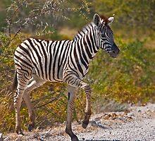 Zebra foal by Konstantinos Arvanitopoulos