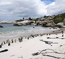 Boulders Beach penguin colony by Anna Phillips