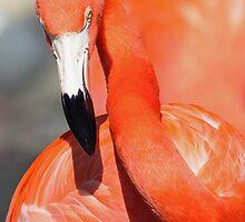 Caribbean Flamingo by kathy s gillentine