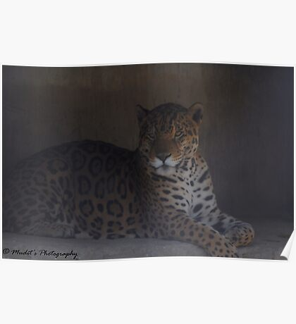 Deadly Big Cats Poster