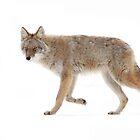 Coyote 2 by Jim Cumming