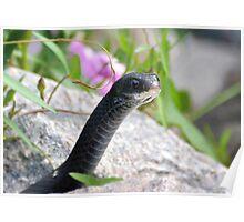 Black Racer Snake Poster