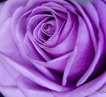 Purple Rose by pramodmeee