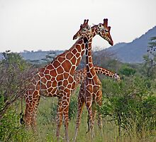 Necking - Giraffes by tracyleephoto