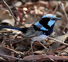 ~ Superb Fairy-wren ~  by LeeoPhotography