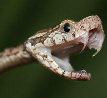 Fer-de-lance (Bothrops asper) by Robbie Labanowski