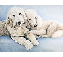 Labradoodle and Standard Poodle Photographic Print