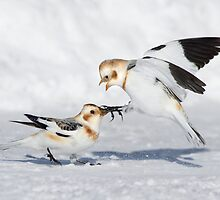 Snow Bunting Squabble. by Daniel Cadieux