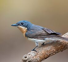 FEMALE LEADEN FLYCATCHER by DIZZYHEIGHTS