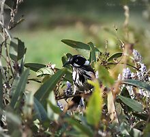 New Holland Honeyeater Hiding by Ben Scholz