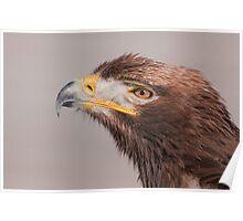 Steppe x Golden Eagle hybrid Poster