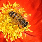 Bee At The Center Of A Poppy by Kathy Baccari