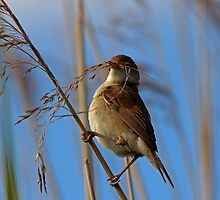 Reed Warbler by David Pringle