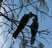 Black Cockatoos Preening by STHogan